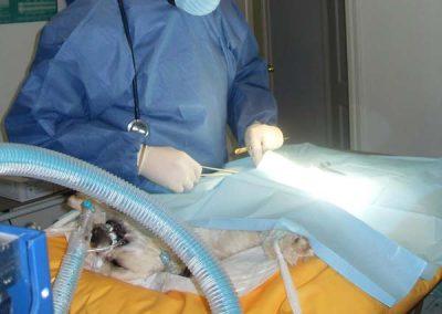 Castracion de un perro en la Clínica Veterinaria Victor Serena